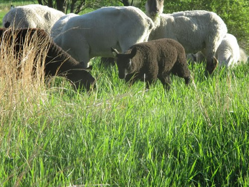 Lambs grazing with mamas.