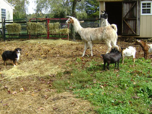 Llama and goats in the barnyard with Montana (Aussie).