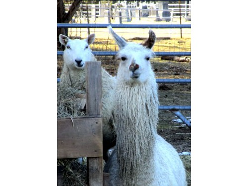 Wryly the llama with some sheep.